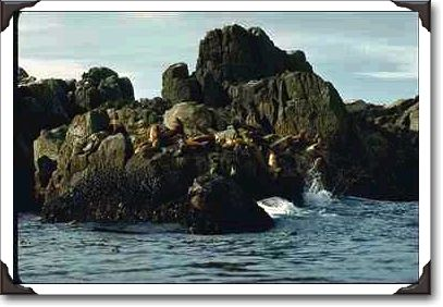 Wave-splashed rocks with sea lions, Queen Charlotte Islands